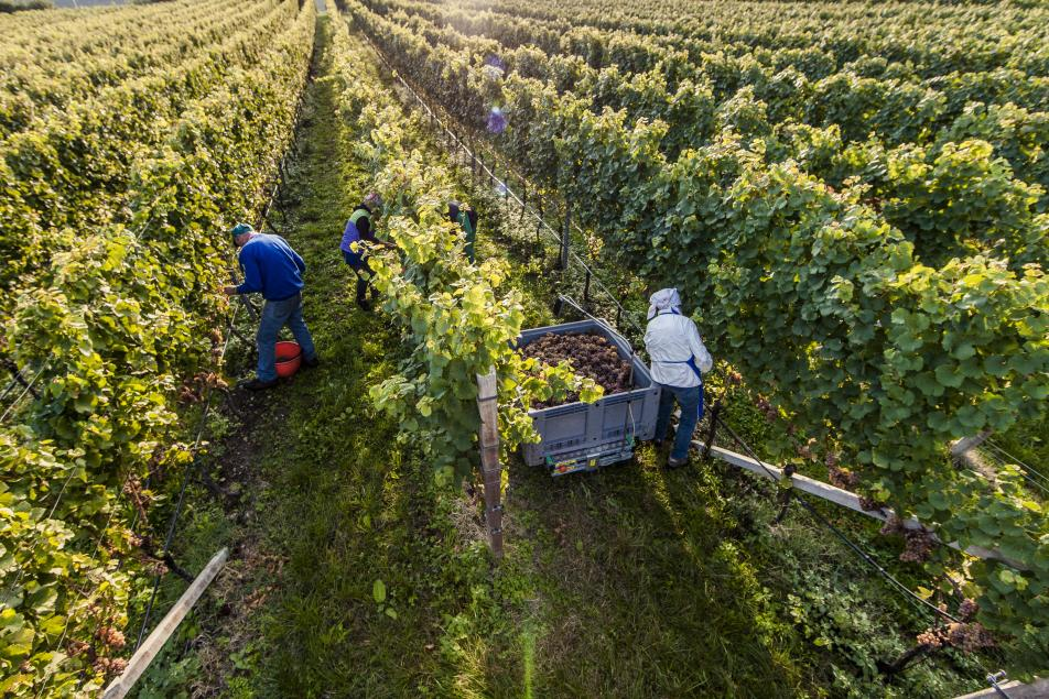 Land of Wine South Tyrol in Alto Adige by Bolzano Farmers Working on the wine yard